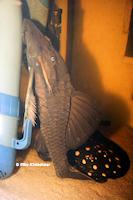 Bild 9: Panaque cochliodon