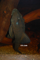 Bild 10: Panaque cochliodon