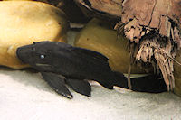 Bild 3: Panaque cochliodon