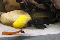 Bild 2: Panaque cochliodon