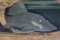Bild 6: Panaque cochliodon
