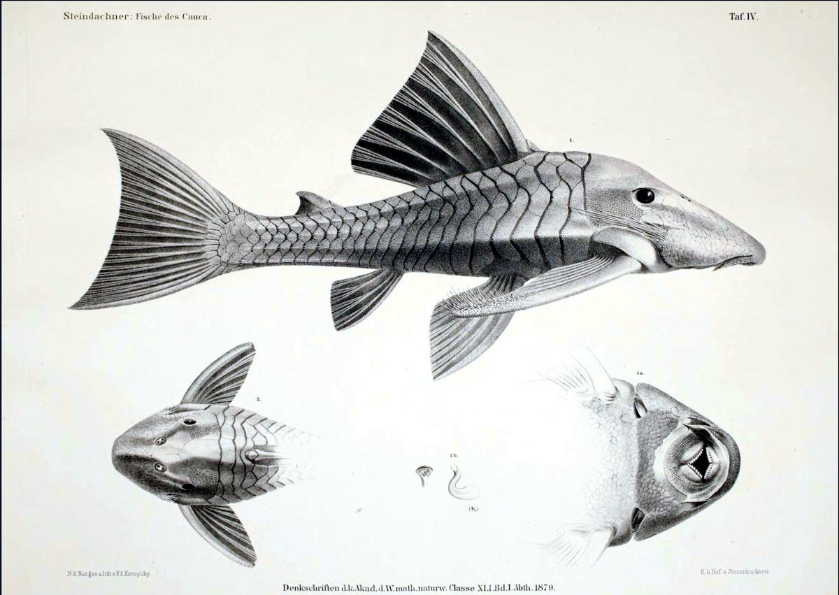 Chaetostomus cochliodon / Chaetostomus gibbosus (Panaque cochliodon) - Darstellung in Steindachner, 1880