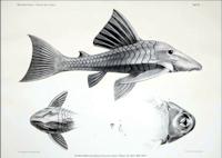 """Bild 6: Chaetostomus cochliodon, Chaetostomus gibbosus, Panaque cochliodon, Panaque gibbosus ... erste Darstellung in """"Zur Fisch-Fauna des Cauca ..."""" Steindachner, 1880 Tafel 4, S. 104f."""