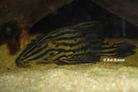 "Bild 3: Panaque sp. aff. armbrusteri ""L27"""