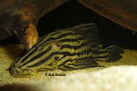 "Bild 4: Panaque sp. aff. armbrusteri ""L27"""