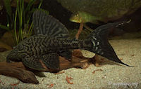Panaque schaeferi (L203 / LDA65)