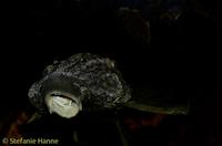 """Bild 6: Panaque sp. """"L330"""""""