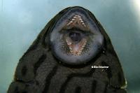 """foto 114: Panaque cf. titan """"L418"""""""