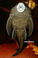 Bild 10: Panaque nigrolineatus nigrolineatus (L190)