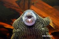 Bild 12: Panaque nigrolineatus nigrolineatus (L190)