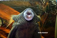 Bild 11: Panaque nigrolineatus nigrolineatus (L190)