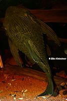 Bild 9: Panaque nigrolineatus nigrolineatus (L190)