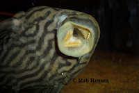 Bild 8: Panaque nigrolineatus nigrolineatus (L190)
