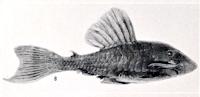 Bild 6: Panaque suttoni aus der Erstbeschreibung (Plate 10, B, S. 316f.)