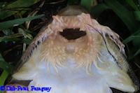 foto 116: Paraloricaria commersonoides