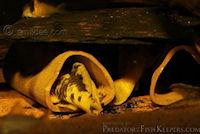 Bild 3: Parancistrus aurantiacus