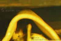 Bild 5: Parancistrus aurantiacus