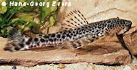 Pareiorhaphis bahianus (LDA17)