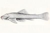 Pareiorhaphis cameroni - Type