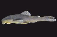 Pareiorhaphis scutula