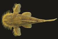 Bild 3: Pareiorhaphis stephanus