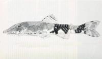 Parotocinclus collinsae, holotype