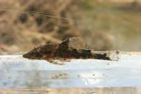 Bild 3: Parotocinclus eppleyi