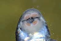 Bild 5: Parotocinclus jumbo  (LDA25)