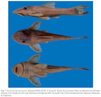 Bild 3: Parotocinclus muriaensis, holotype MNRJ 28528, 31.0 mm SL