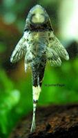 """Bild 3: Parotocinclus sp. """"Peru"""""""