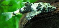 """Bild 4: Parotocinclus sp. """"Peru"""""""