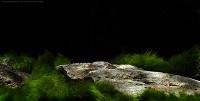 """Bild 2: Parotocinclus sp. """"Rio Purus"""""""