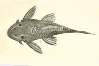 Peckoltia braueri / Hemiancistrus braueri, Eigenmann, Type, 120 mm. Berlin Museum