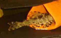 foto 8: Peckoltia compta (L134)
