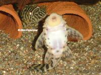 foto 17: Peckoltia compta (L134)