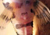 foto 6: Peckoltia compta (L134) - Genitalpapile Männchen