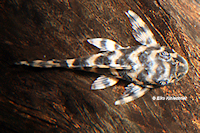 """Bild 3: Peckoltia (cf.) vittata """"L15"""""""