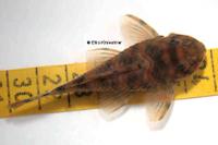 """Bild 4: Peckoltia sp. """"L38"""""""