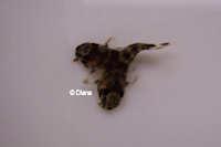 """Bild 11: Peckoltia sp. """"L38"""""""