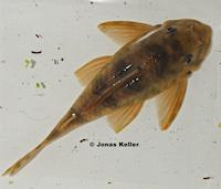 """Pic. 4: Peckoltia sp. """"L49"""""""