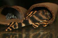 """Bild 10: Peckoltia sp. """"L72"""""""