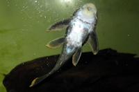 """Bild 6: Peckoltia sp. """"L99"""""""