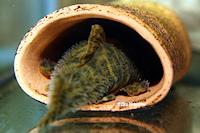 """Bild 2: Peckoltia sp. """"L80"""""""