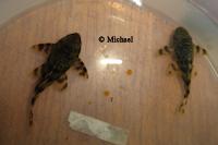 """Bild 2: Peckoltia (cf.) brevis """"L205"""""""