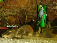 """foto 5: Peckoltia sp. """"L265"""" / """"LDA 84"""""""