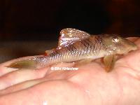 """Bild 3: Peckoltia sp. """"L265"""" / """"LDA 84"""""""