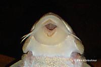 """Bild 126: Peckoltia sp. """"L265"""" / """"LDA 84"""""""
