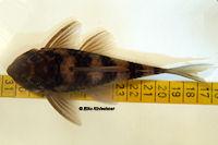 """foto 15: Peckoltia sp. """"L265"""" / """"LDA 84"""""""