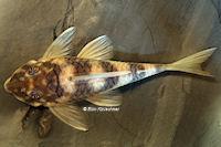 """Bild 16: Peckoltia sp. """"L265"""" / """"LDA 84"""""""