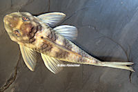 """Bild 10: Peckoltia sp. """"L265"""" / """"LDA 84"""""""